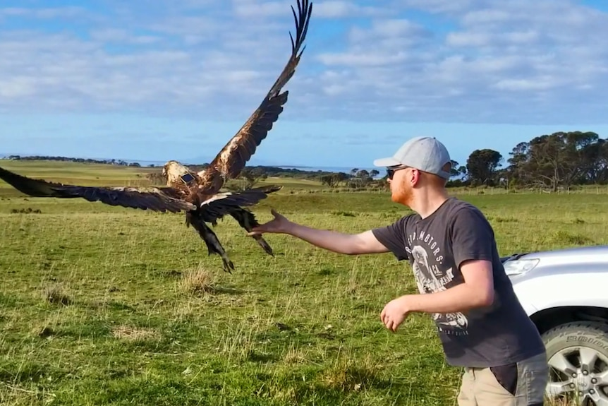 A man with arm outstretched releases a wedge-tailed eagle in mid-air