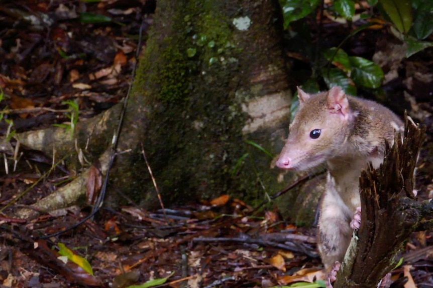 This type of Spotted-tailed Quoll lives in the heritage listed tropical rainforest from Ingham up to the Daintree.