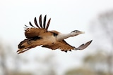 Australian bustard flying with wings fully spread