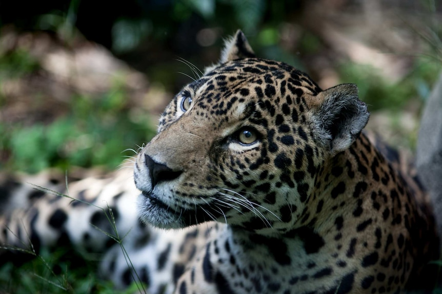 A close photo of a jaguar sitting on the grass. You can see the tip of one of its ear missing.