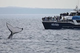 A whale shows off by waving it's tail in front of excited researchers and tourists off Fraser Island.