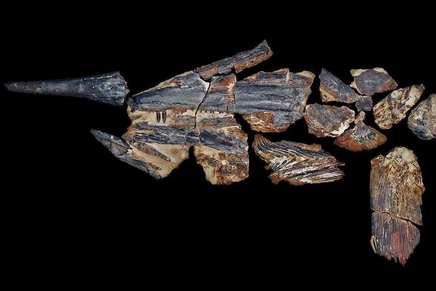 Bones of the rare Australopachycormus, a swordfish-like creature, laid out on a black background