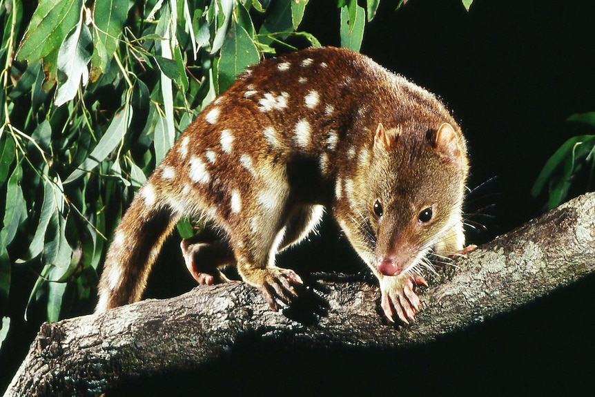 An image of a spotted tail quoll taken at night on a branch with leaves in the background