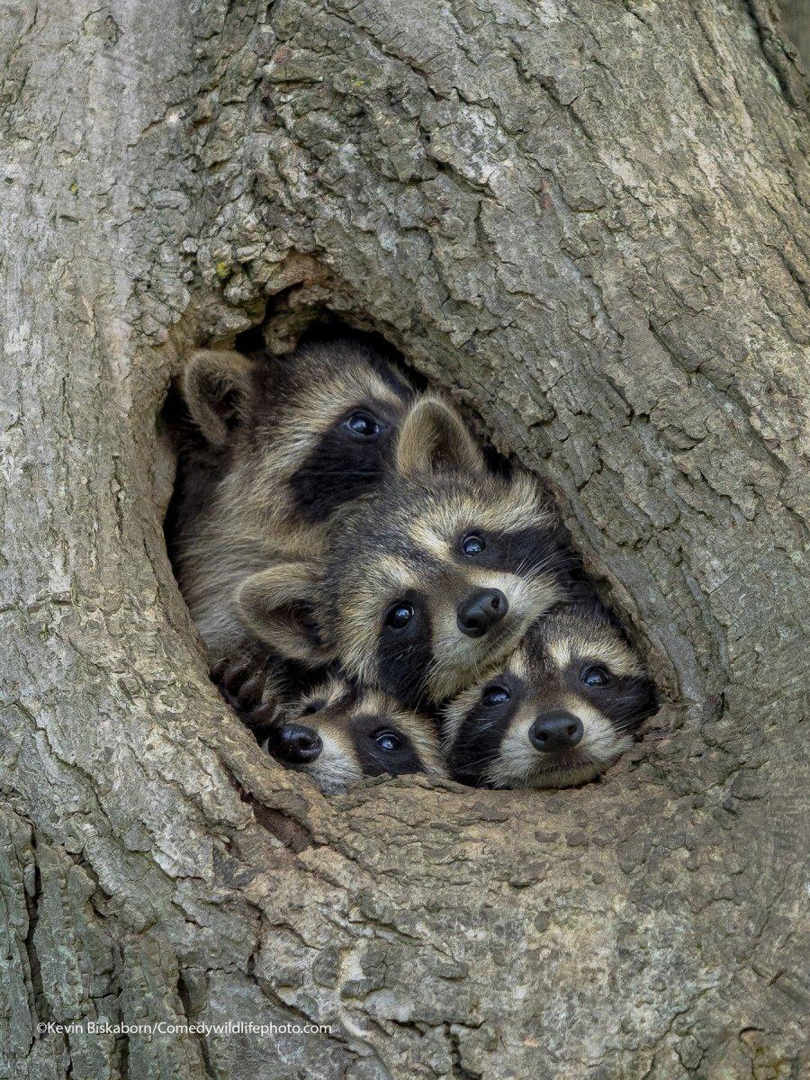 Raccons crammed into a tree hole.