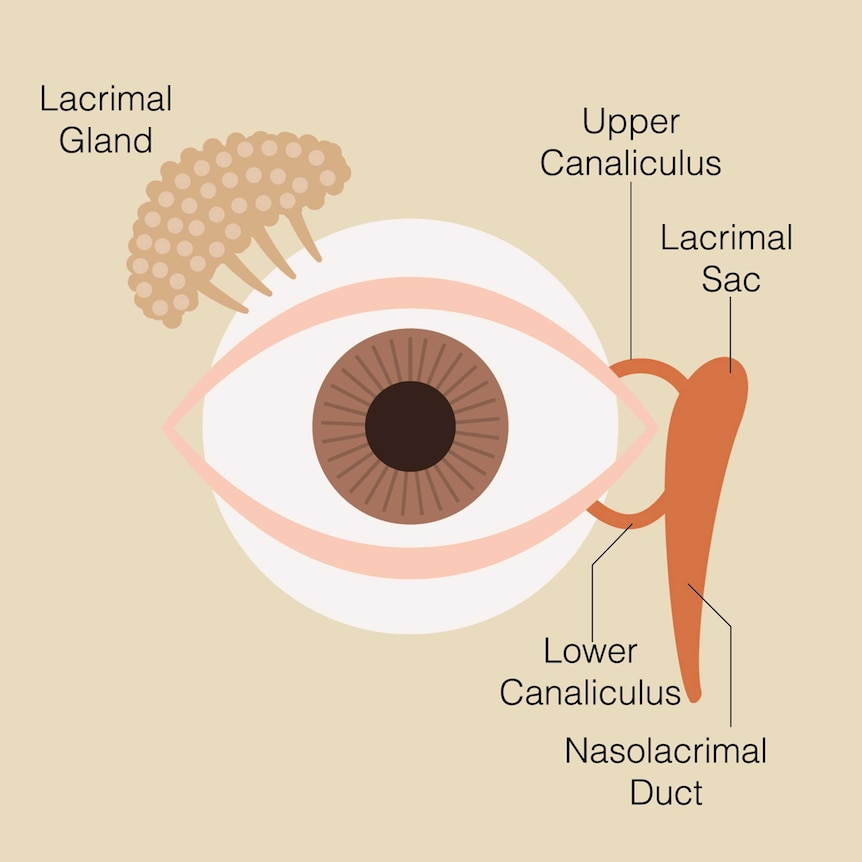 A diagram of the eye showing the lacrimal gland, upper and lower canaliculus and lacrimal sac.