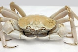 A photo of a white crab sitting inside of a packaged box.