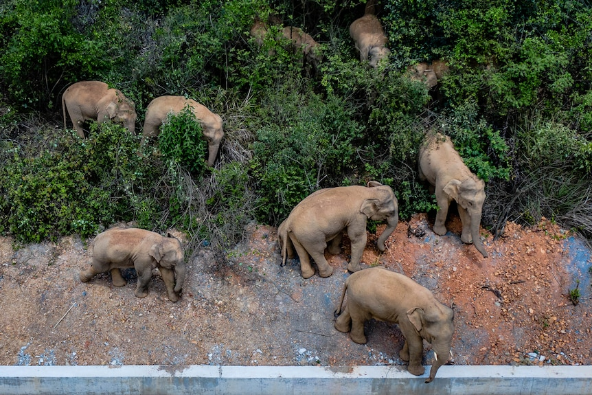 A herd of elephants walking through bushes on the side of a road