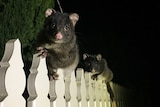 Two possums on a white picket fence at night