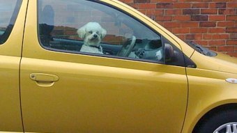 A small white dog in the window of a yellow tinted car in front of a red brick wall.