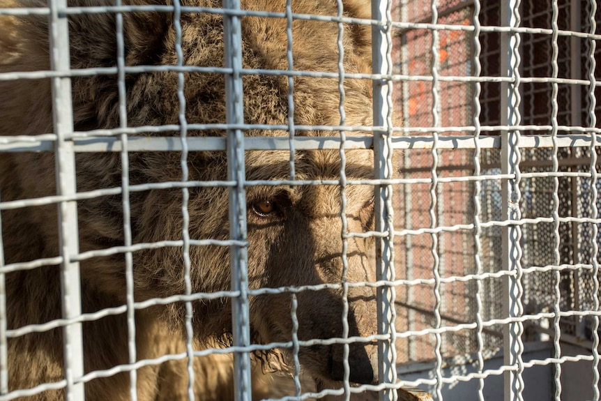 Large brown bear stares out from wire cage