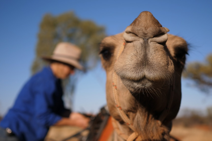 Sophie Matterson blurred in the background loading up her camel for a day on the road with a camel's face in the foreground.