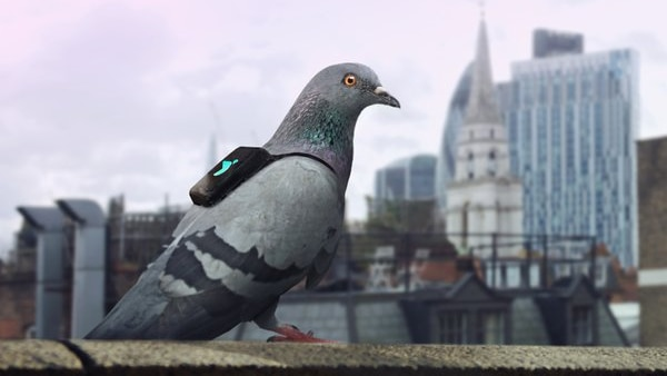One of the pigeons wearing a backpack that measures air quality.