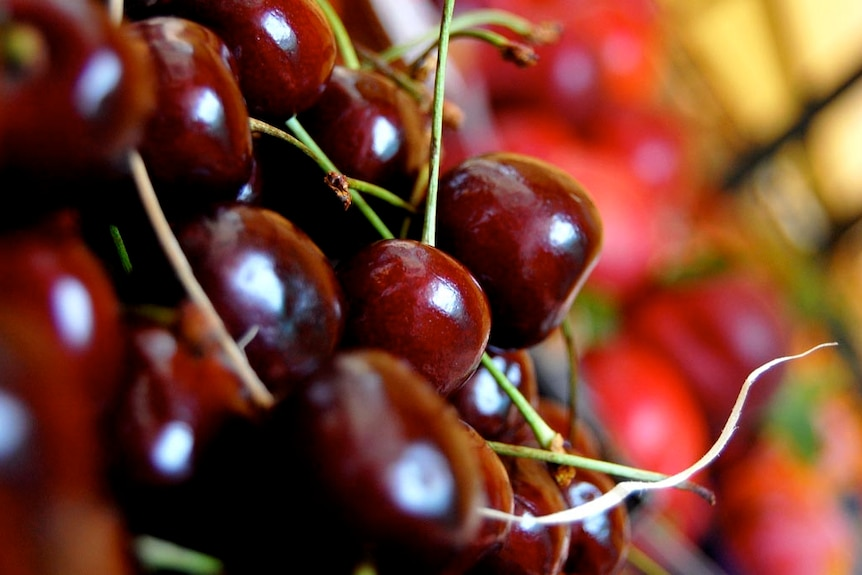 Close up on a pile of cherries.