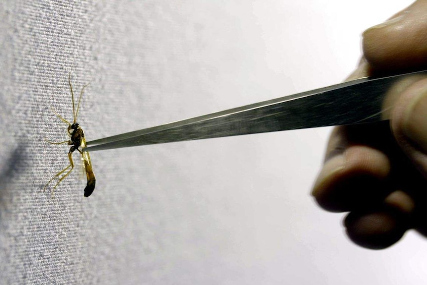 An insect is held with tweezers.