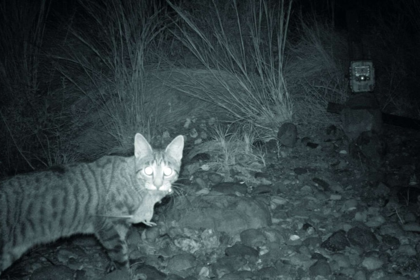 A feral cat, which has killed a small mammal, is caught at night on a camera trap in WA