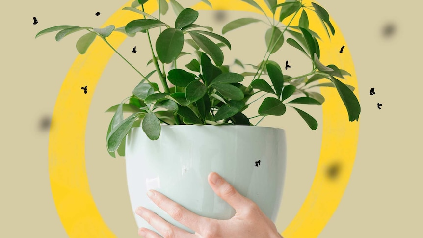 A hand holding a potted indoor plant with illustrations of fungus gnats around it, a common plant pest.