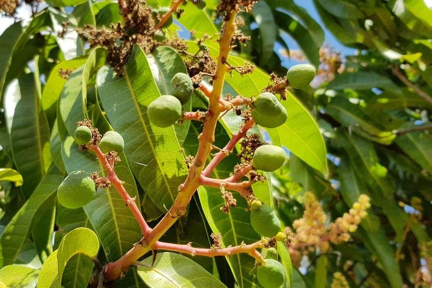 Close-up of mango tree stem with green, marble-sized mangos attached