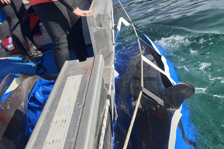 A woman observes a dolphin being carried in a harness attached to a boat.