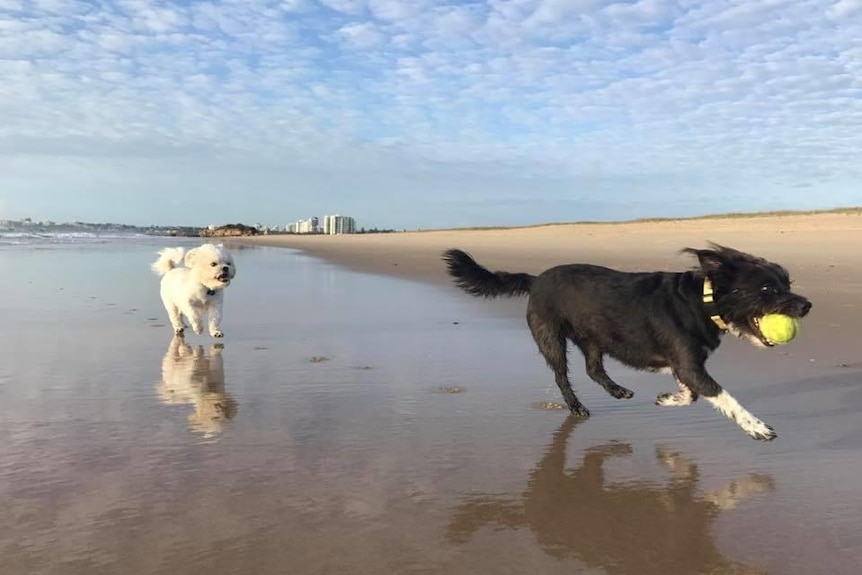 Two dogs run happily along a beach
