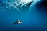 A lone hammerhead shark swimming.