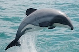 A Maui dolphin, also known as a Hobbit dolphin, jumping out of the water.