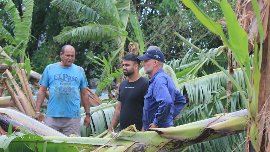 farmers looking at banana plants knocked over