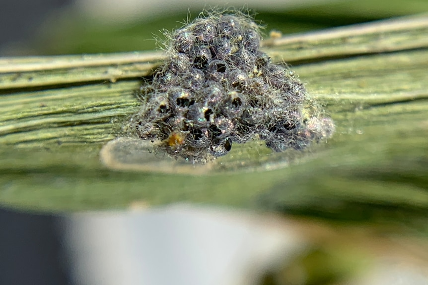 Black eggs on a stalk with fuzz on them.