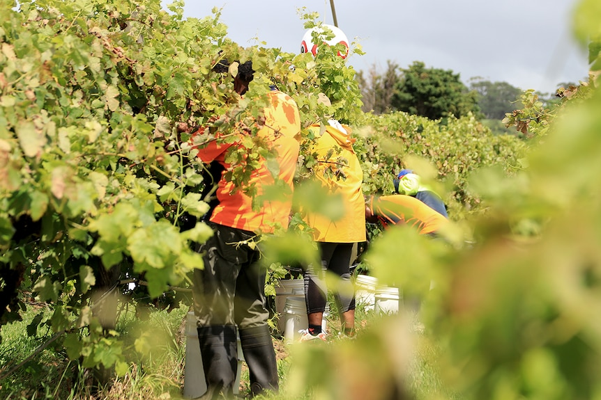 A group of pickers pick grapes wearing high vis shirts and surrounded by vines.
