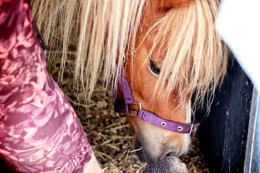 A close up of a chestnut pony's head.