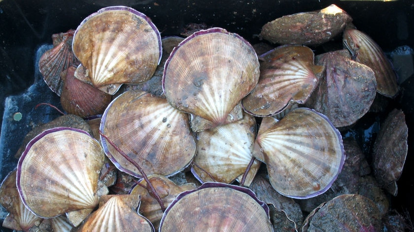 Fisherman say up to 24,000 tonnes of scallops are dead.