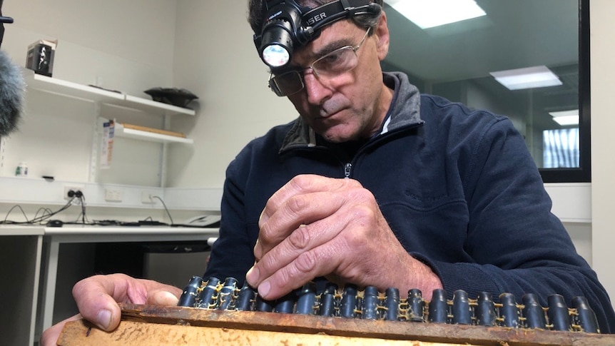 A man uses tweezers to transfer genetic material from bees to propagate queen bees.
