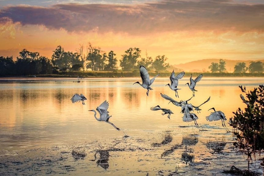 Ibises with a lone Heron coming out of the water as a golden sunset is reflected in the river