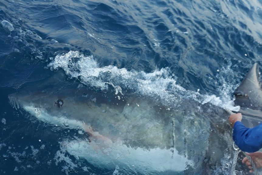A grey and shite shark lying on its side just below the ocean surface, with a person's arms holding a rope to the right.