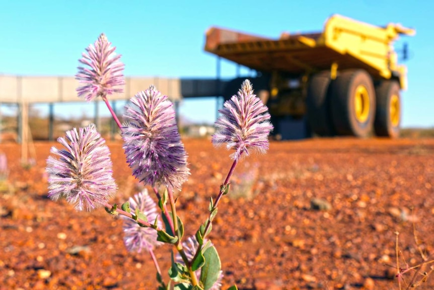 A close-up of a flowering plant with a large mining dump truck in the background.