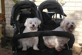 The white fluffy dogs sit in a twin stroller