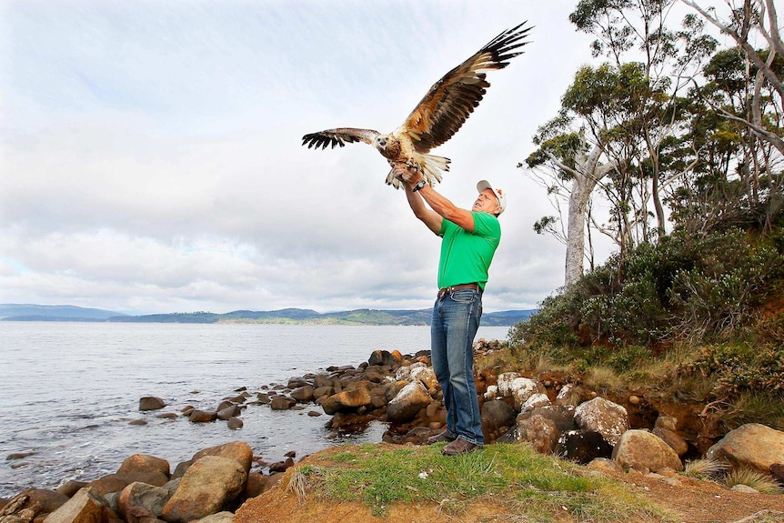 Man standing on coastline releases wedge tailed eagle into the air.