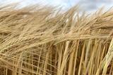 Close-up picture of ripening barley heads, swaying in the breeze