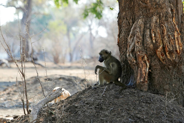 A baboon sits on dirt under a tree with the ground around it barren.