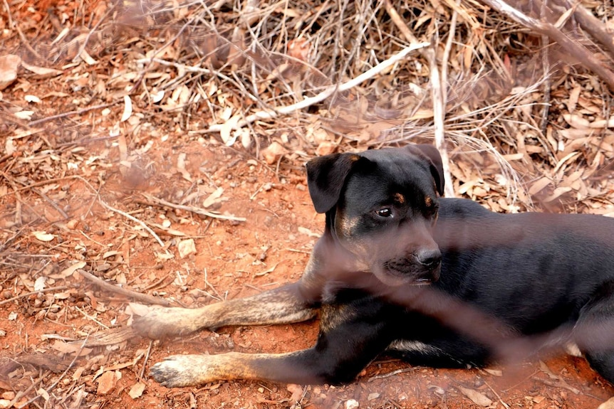 A black dog lying on red dirt behind a fence.