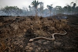 A black and brown coloured snake slithers across a blacked forest floor after fires.