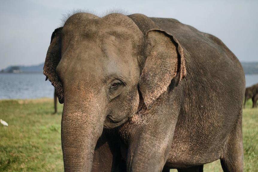 Close up of an elephant in Sri Lanka