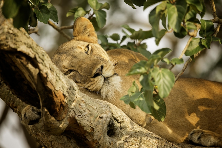 A Lion rests high in the trees in Uganda, Africa.
