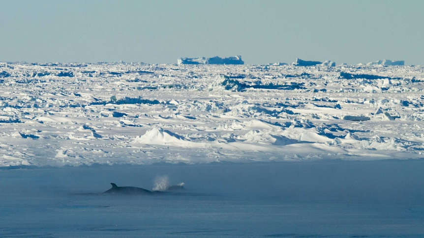 A whale in Antarctica.