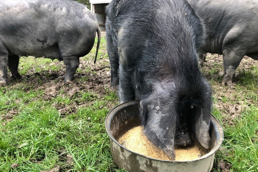 A black pig pushes its face into a bucket of grain.