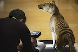 A man using a 3D scanner to take the dimensions of a taxidermied Tasmanian tiger.