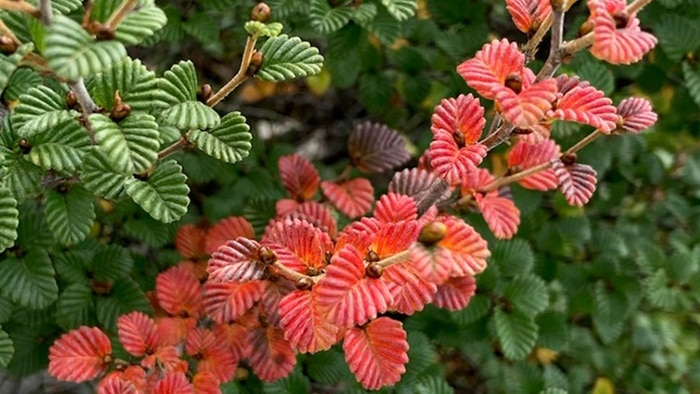 An unsual branch of red fagus leaves amongst branches of green leaves