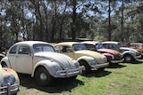Seven VW beetles of various colours lined up in a paddock.