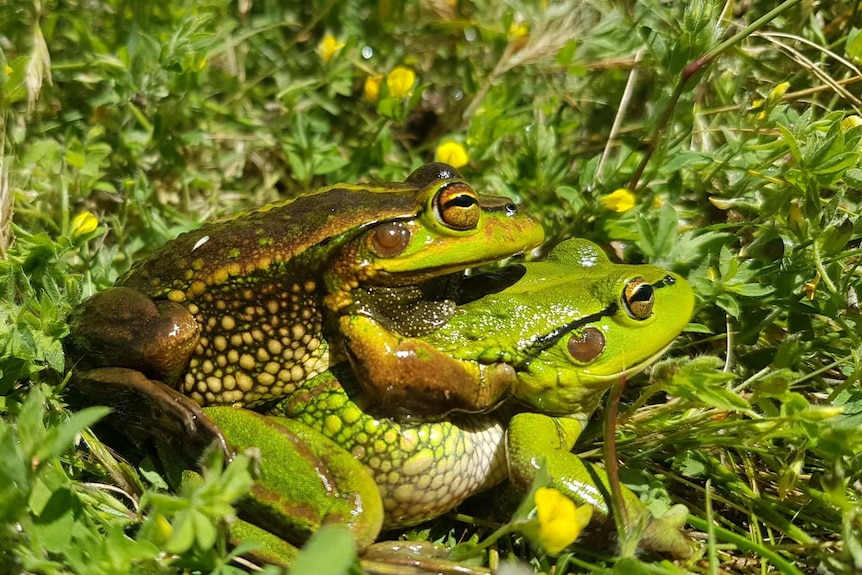 A pair of copulating green frogs.