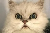 A cat with an angry look on its face