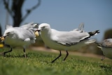 Seagulls with hot chips